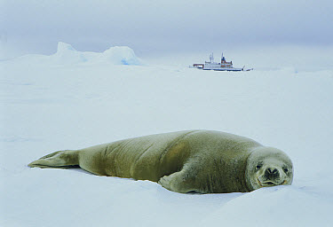 Crabeater Seal (Lobodon carcinophagus) resting on ice with expedition boat in background, Weddell Sea, Antarctica  -  Ingo Arndt