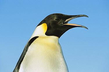Emperor Penguin (Aptenodytes forsteri) vocalizing, Weddell Sea, Antarctica  -  Ingo Arndt