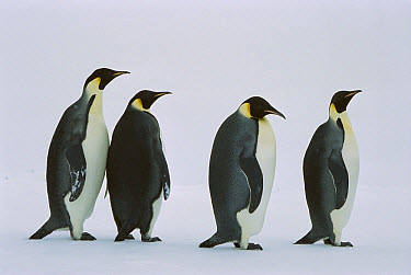 Emperor Penguin (Aptenodytes forsteri) four walking in a line, Weddell Sea, Antarctica  -  Ingo Arndt
