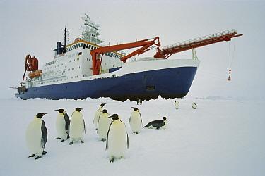 Emperor Penguin (Aptenodytes forsteri) group visiting the icebreaker Polarstern, Weddell Sea, Antarctica  -  Ingo Arndt