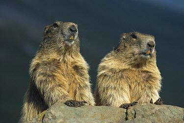 Alpine Marmot (Marmota marmota) pair peering over a rock, Hohe Tauern National Park, Austria  -  Ingo Arndt
