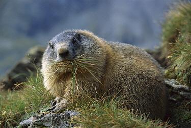 Alpine Marmot (Marmota marmota) gathering grass for nesting material, Hohe Tauern National Park, Austria  -  Ingo Arndt