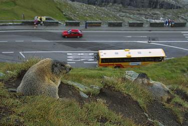 Alpine Marmot (Marmota marmota) overlooking busy road, Hohe Tauern National Park, Austria  -  Ingo Arndt