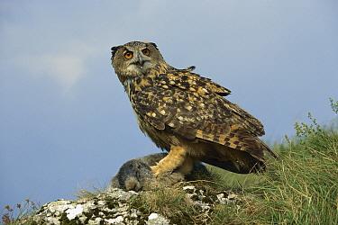 Eurasian Eagle-Owl (Bubo bubo) with Alpine Marmot (Marmota marmota) prey, Hohe Tauern National Park, Austria  -  Ingo Arndt