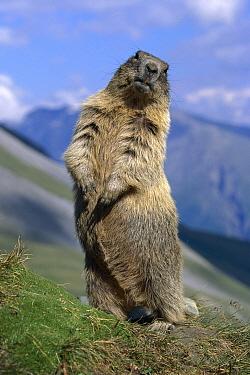 Alpine Marmot (Marmota marmota) sitting up, Hohe Tauern National Park, Austria  -  Ingo Arndt