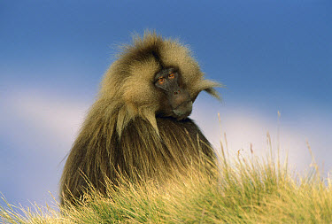 Gelada Baboon (Theropithecus gelada) adult male, portrait, Simien Mountain National Park, Ethiopia  -  Ingo Arndt