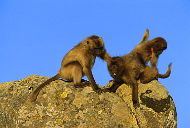 Gelada Baboon (Theropithecus gelada) juveniles, playing, Simien Mountains, Ethiopia  -  Ingo Arndt