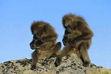 Gelada Baboon (Theropithecus gelada) adult males, grooming, Simien Mountain National Park, Ethiopia  -  Ingo Arndt