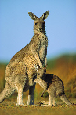 Eastern Grey Kangaroo (Macropus giganteus) joey reaching into mother's pouch, Wilson's Promontory National Park, Australia  -  Ingo Arndt