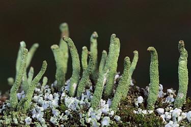Cup Lichen (Cladonia sp) growing on fallen tree trunk, Germany  -  Ingo Arndt