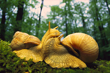 Edible Snail (Helix pomatia) close up of mating pair, Germany  -  Ingo Arndt