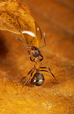 Red Wood Ant (Formica rufa) drinking from water droplet, Hessen, Germany  -  Ingo Arndt