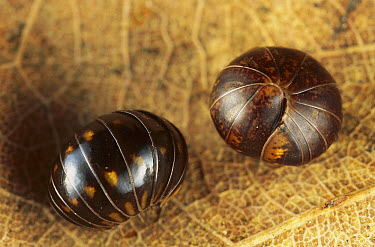 Common Pillbug (Armadillidium vulgare) pair rolled into defensive balls, Europe  -  Ingo Arndt