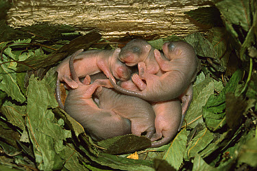 Fat Dormouse (Glis glis) newborns sleeping in nest, Germany  -  Ingo Arndt