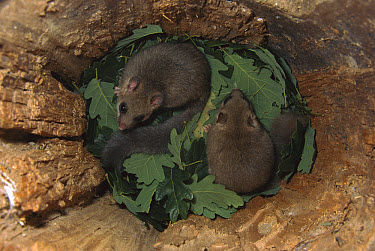 Fat Dormouse (Glis glis) young in leaf-lined nest, Germany  -  Ingo Arndt