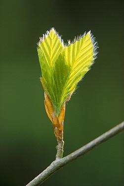 European Beech (Fagus sylvatica) leaves, typical food for Fat Dormouse (Glis glis), Austria  -  Ingo Arndt