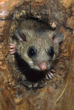 Fat Dormouse (Glis glis) peeking out of nest hole, Austria  -  Ingo Arndt