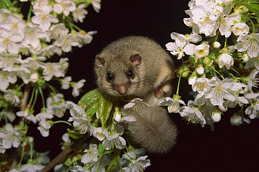 Fat Dormouse (Glis glis) peeking out from flowers, Austria  -  Ingo Arndt