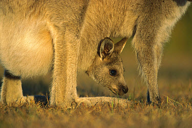 Eastern Grey Kangaroo (Macropus giganteus) joey in mother's pouch, Wilson's Promontory National Park, Australia  -  Ingo Arndt
