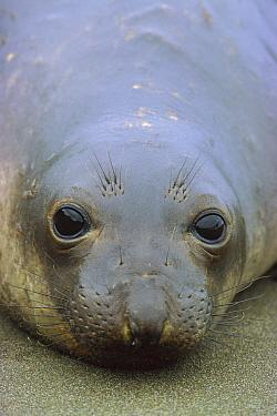 Northern Elephant Seal (Mirounga augustirostris) close up portrait of pup, Ano Nuevo State Reserve, California  -  Ingo Arndt
