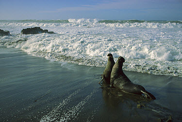 Northern Elephant Seal (Mirounga angustirostris) two fighting bulls, Ano Nuevo State Reserve, California  -  Ingo Arndt