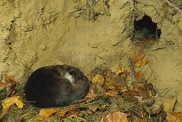 European River Otter (Lutra lutra) female sleeping in den, Europe  -  Ingo Arndt