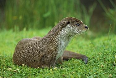 European River Otter (Lutra lutra) portrait, Europe  -  Ingo Arndt