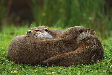 European River Otter (Lutra lutra) sisters resting, Europe  -  Ingo Arndt