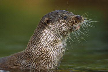European River Otter (Lutra lutra) close up portrait showing whiskers, Europe  -  Ingo Arndt