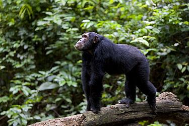 Chimpanzee (Pan troglodytes) alpha male 'Kris' knucklewalking across log, endangered, Gombe Stream National Park, Tanzania  -  Ingo Arndt