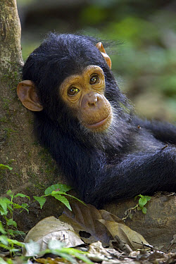 Chimpanzee (Pan troglodytes) baby leaning against a tree, endangered, Gombe Stream National Park, Tanzania  -  Ingo Arndt