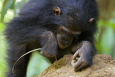 Chimpanzee (Pan troglodytes) juvenile fishing for termites, endangered, Gombe Stream National Park, Tanzania  -  Ingo Arndt
