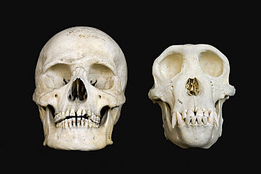 Chimpanzee (Pan troglodytes) skull on the right and from a Human (Homo sapien) left  -  Ingo Arndt