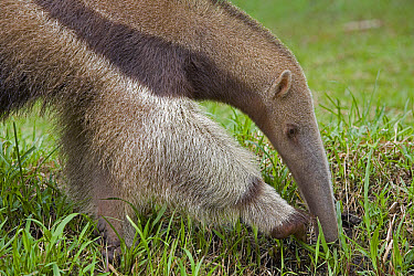 Giant Anteater (Myrmecophaga tridactyla) searching for insects in grass, Amazon ecosystem, Peru  -  Ingo Arndt