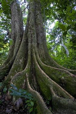Buttressed root on rainforest tree, Gombe Stream National Park, Kakombe Valley, Tanzania  -  Ingo Arndt