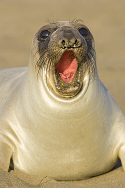 Northern Elephant Seal (Mirounga angustirostris) female yawning, California  -  Ingo Arndt