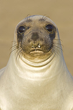 Northern Elephant Seal (Mirounga angustirostris) female portrait, California  -  Ingo Arndt
