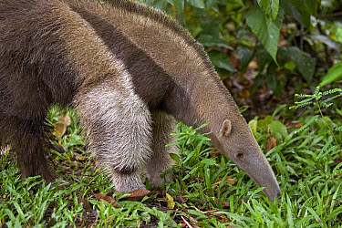 Giant Anteater (Myrmecophaga tridactyla) foraging for insects, Amazon ecosystem, Peru  -  Ingo Arndt