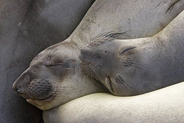 Northern Elephant Seal (Mirounga angustirostris) pair of females sleeping, California  -  Ingo Arndt