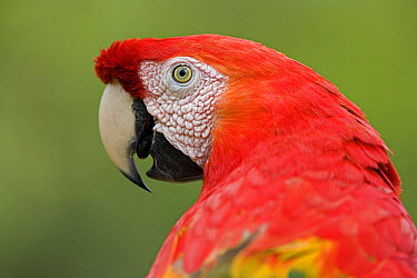 Scarlet Macaw (Ara macao) close up, portrait, Amazon ecosystem, Peru  -  Ingo Arndt