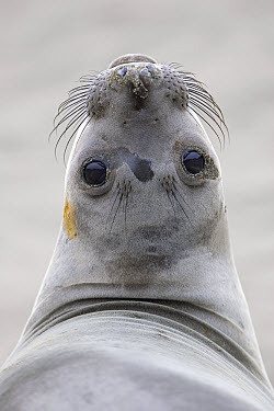 Northern Elephant Seal (Mirounga angustirostris) female, California  -  Ingo Arndt