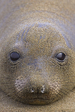 Northern Elephant Seal (Mirounga angustirostris) portrait of female covered in sand, California  -  Ingo Arndt