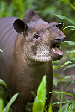 Brazilian Tapir (Tapirus terrestris) calling in rainforest, Amazon ecosystem, vulnerable, Peru  -  Ingo Arndt