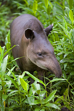 Brazilian Tapir (Tapirus terrestris) portrait amid foliage, Amazon ecosystem, vulnerable, Peru  -  Ingo Arndt
