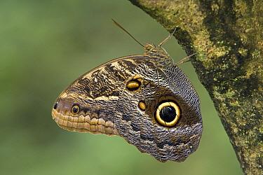 Owl Butterfly (Caligo memnon) perched upside down on tree, Costa Rica  -  Ingo Arndt