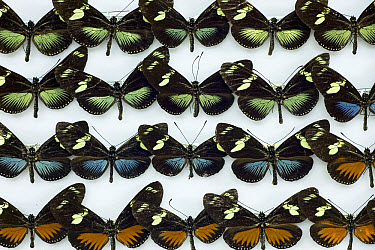 Heliconia Butterfly (Heliconius antiochus) specimens in Inbio collection showing color variation within the species, Costa Rica  -  Ingo Arndt