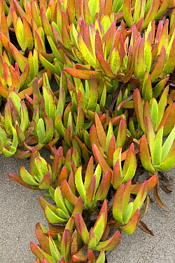 Ice Plant (Carpobrotus edulis) or Hottentot Fig growing in sandy soil native to South Africa and introduced worldwide, San Simeon, California  -  Ingo Arndt