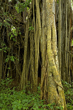 Fig (Ficus sp) showing aerial tree roots in the rainforest, Costa Rica  -  Ingo Arndt