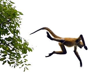 Black-handed Spider Monkey (Ateles geoffroyi) jumping from tree to tree, Santa Rosa National Park, Costa Rica  -  Ingo Arndt