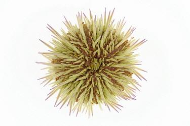 Sand Sea Urchin (Psammechinus miliaris) diameter approximately four centimeters, North Sea, Helgoland, Germany  -  Ingo Arndt